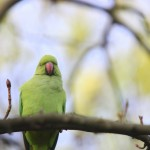 Parakeets in London?