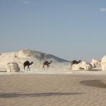White desert camels
