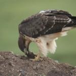 Brownish Bird