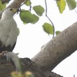 Brownish White Bird