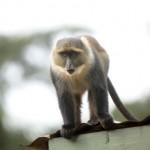 Simanga Monkey