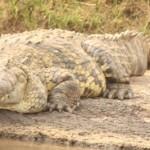 Happy Croc
