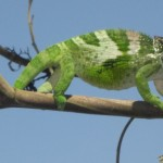 Three Chameleon