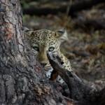 More Leopard