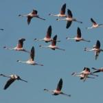 Flamingoings